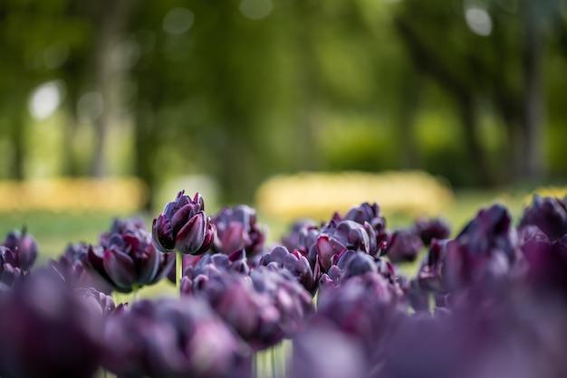 Disparo de enfoque selectivo de hermosos tulipanes morados en un jardín.