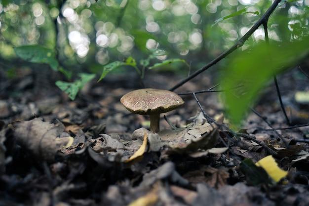 Disparo de enfoque selectivo de un hongo russula integra que crece en el suelo