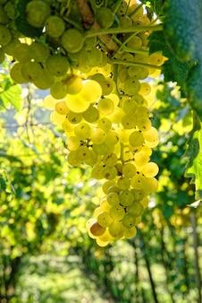 Disparo de enfoque selectivo de jugosas uvas frescas maduras que crecen en las ramas de un viñedo
