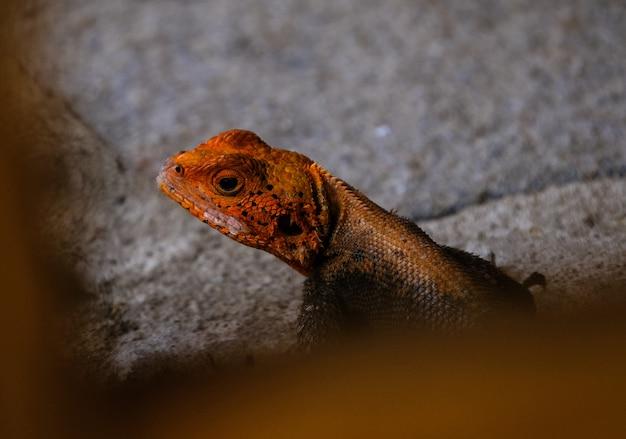 Disparo de enfoque selectivo de un lagarto naranja y negro sobre una roca