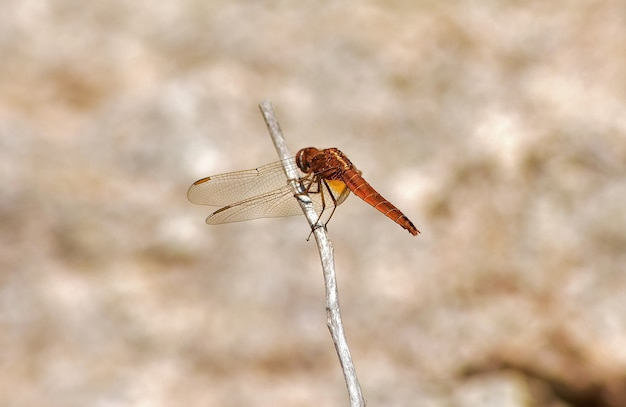 Disparo de enfoque selectivo de una libélula naranja sobre una ramita
