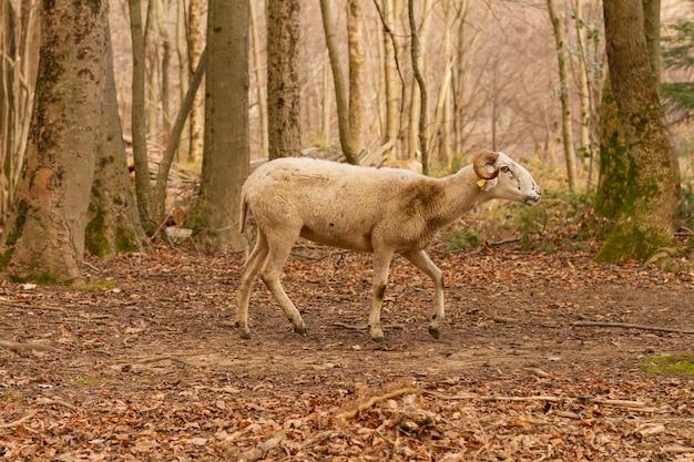 Disparo de enfoque selectivo de una linda cabra (capra aegagrus hircus), parque natural del montseny