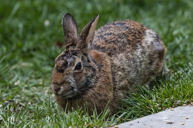 Disparo de enfoque selectivo de un lindo conejo marrón sentado en el campo cubierto de hierba