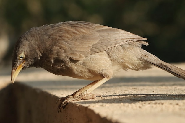 Disparo de enfoque selectivo de un lindo pájaro gris jungle babbler en busca de comida