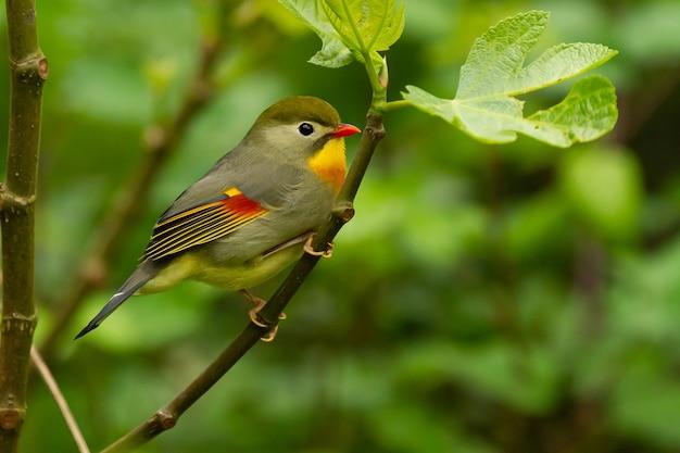 Disparo de enfoque selectivo de un lindo pájaro leiothrix de pico rojo posado en un árbol