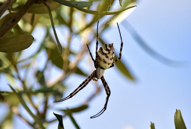 Disparo de enfoque selectivo de lobed argiope spider en las ramas de un olivo