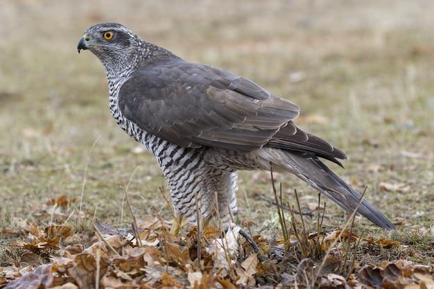 Disparo de enfoque selectivo de un magnífico halcón en busca de presas con ojos de caza