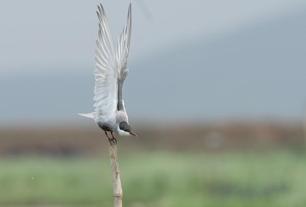 Disparo de enfoque selectivo de un pájaro de charrán bigotudo sentado en un palo de madera
