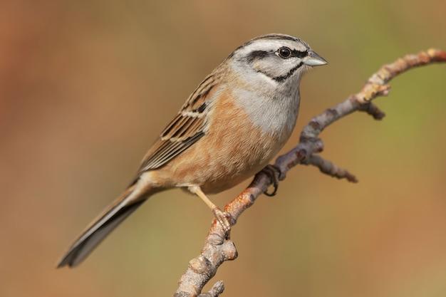 Disparo de enfoque selectivo de un pájaro del empavesado posado en una rama