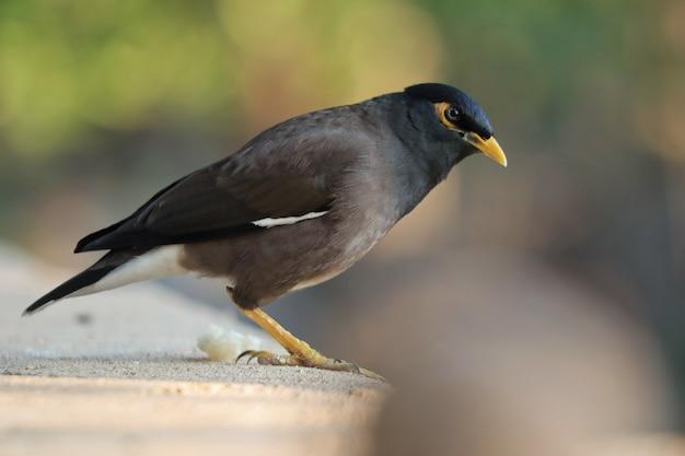 Disparo de enfoque selectivo de un pájaro myna encaramado al aire libre