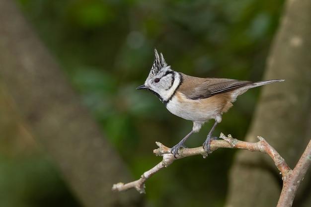 Disparo de enfoque selectivo de un pájaro tit crestado europeo en una rama
