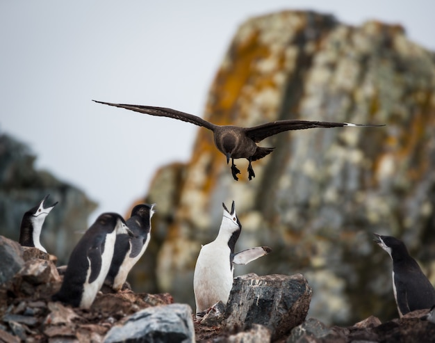 Disparo de enfoque selectivo de un pingüino alimentando a sus bebés en la antártida