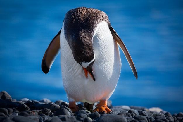 Disparo de enfoque selectivo de un pingüino de pie sobre las piedras con la cabeza hacia abajo en la antártida
