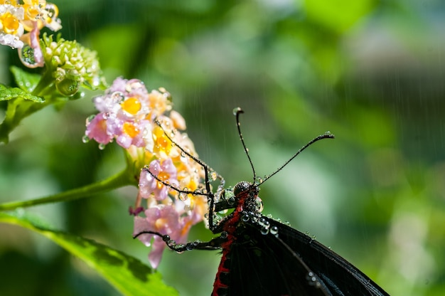 Disparo de enfoque selectivo de una polilla negra sobre flores de pétalos rosas con fondo borroso