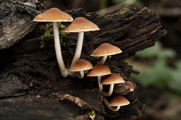 Disparo de enfoque selectivo de psathyrella piluliformis creciendo sobre un tronco de árbol muerto