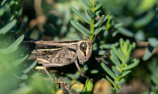 Disparo de enfoque selectivo de un saltamontes de bandas blancas entre la vegetación en la campiña maltesa