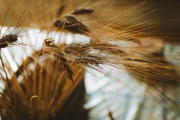 Disparo de enfoque selectivo de trigo capturado en madeira, portugal