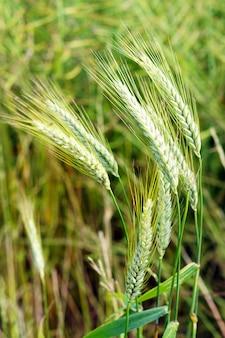Disparo de enfoque selectivo de trigo verde bajo el viento