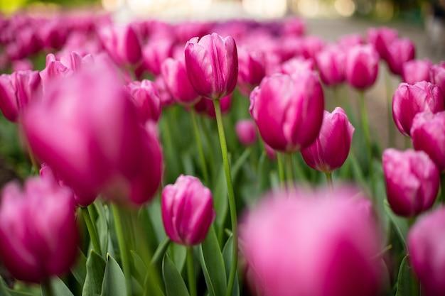 Disparo de enfoque selectivo de tulipanes rosados que florecen en un campo