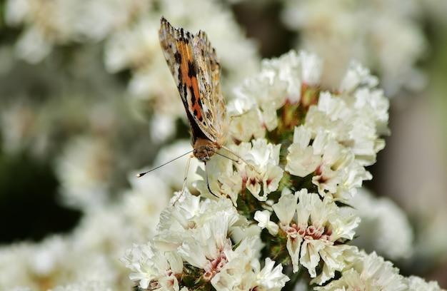 Disparo de enfoque selectivo de vanessa cardui butterfly recogiendo polen en flores de statice
