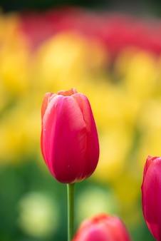 Disparo de enfoque selectivo vertical de hermosos tulipanes rosados capturados en un jardín de tulipanes