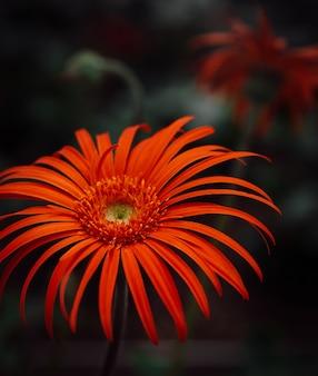 Disparo de enfoque selectivo vertical de una magnífica flor de margarita de barberton en un bosque