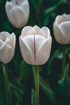 Disparo de enfoque selectivo vertical de tulipanes blancos capturados en un jardín de tulipanes