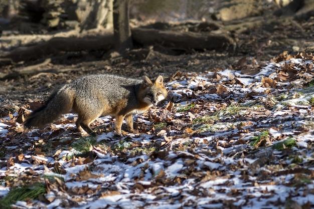 Disparo de enfoque selectivo de un zorro mirando hacia