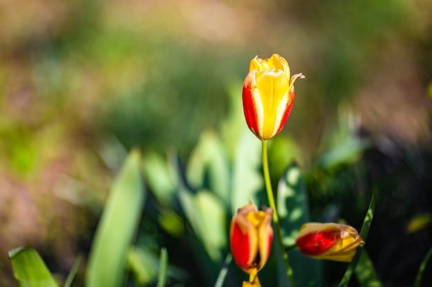 Disparo de enfoque superficial de una flor de tulipán amarillo en el jardín