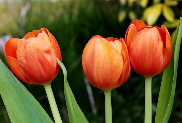 Disparo de enfoque superficial de flores de tulipán rojo en una distancia borrosa