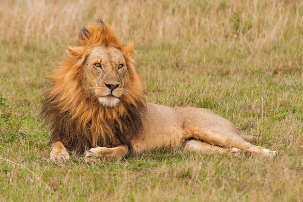 Disparo de enfoque superficial de un león macho descansando sobre el campo de hierba