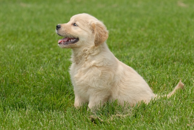 Disparo de enfoque superficial de un lindo cachorro golden retriever sentado en un suelo de hierba