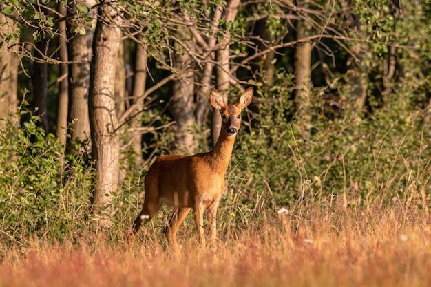 Disparo de gran angular de un ciervo de pie detrás de un bosque lleno de árboles