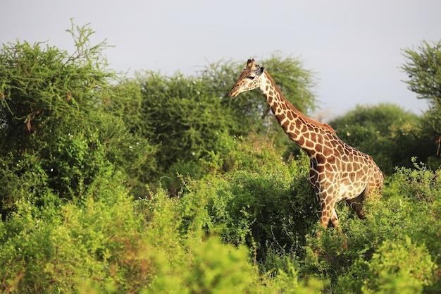 Disparo de gran angular de una jirafa masai junto a árboles en el parque nacional de tsavo east, kenia, áfrica