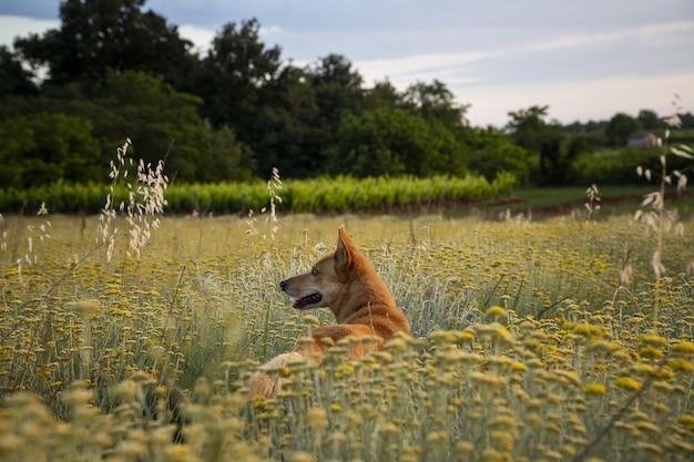 Disparo horizontal de un campo de flores eternas con un perro marrón en istria, croacia