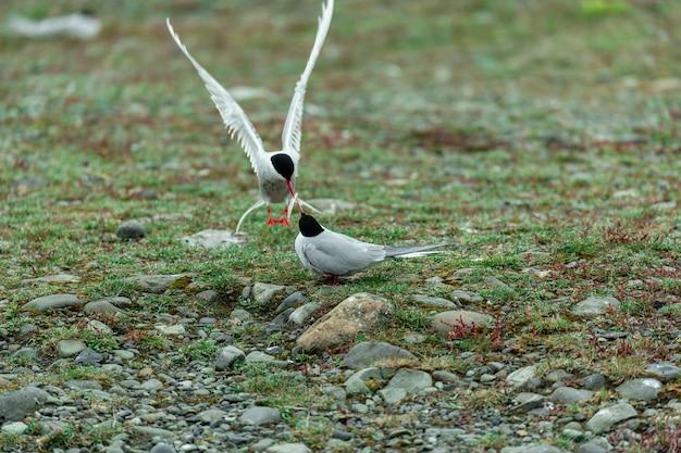 Disparo lindo de dos charranes árticos alimentándose entre sí en medio de un campo