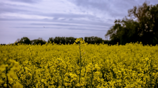Disparo selectivo de un campo de flores de pétalos amarillos rodeados de árboles bajo un cielo azul
