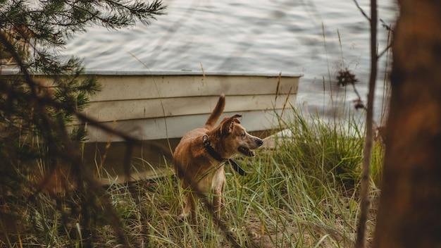 Disparo selectivo de un perro marrón con collar negro de pie sobre el césped cerca de un barco en la orilla del lago