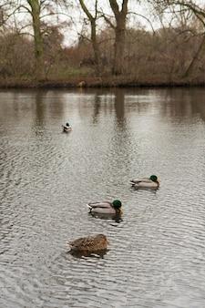 Disparo vertical de ánades reales masculinos y femeninos nadando en un estanque
