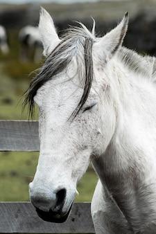 Disparo vertical de un caballo mustang blanco con los ojos cerrados