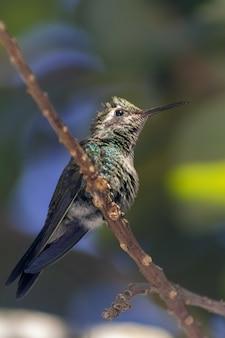 Disparo vertical de un colibrí posado en la rama de un árbol