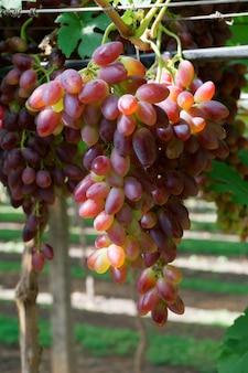 Disparo vertical de deliciosas uvas
