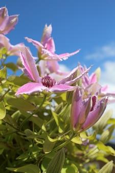 Disparo vertical de una flor clematis nelly moser en un campo bajo la luz del sol