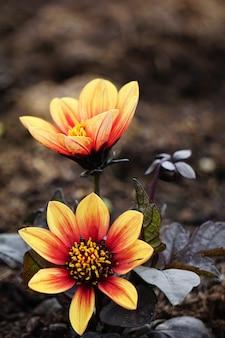 Disparo vertical de flores con pétalos rojos y amarillos