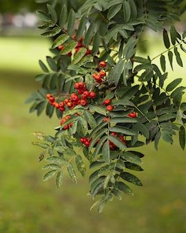Disparo vertical de frutos rojos en un fresno de montaña en un parque