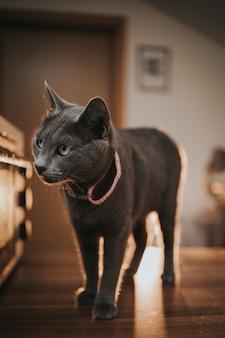 Disparo vertical de un gato azul ruso en casa
