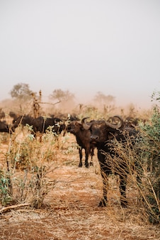 Disparo vertical de un grupo de búfalos de agua colgando en medio de un campo seco