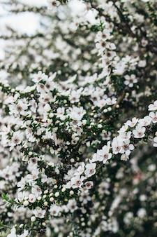 Disparo vertical de hermosas flores blancas en un árbol durante la primavera