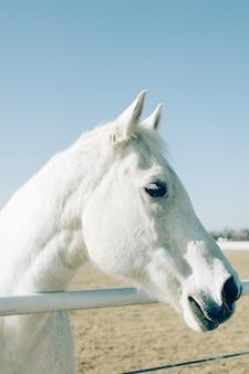 Disparo vertical de un hermoso caballo blanco primer plano permanente a una baranda metálica en un rancho
