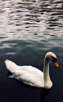 Disparo vertical de un hermoso cisne adulto nadando en un lago